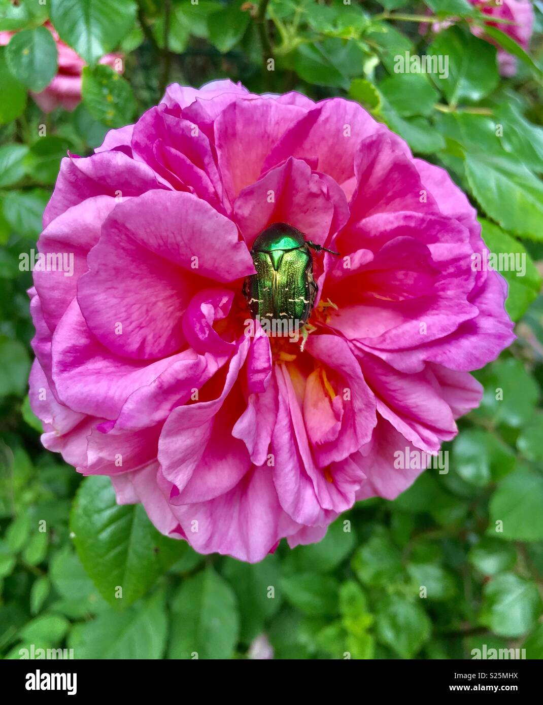 Green Figeater beetle on a pink rose - Stock Image