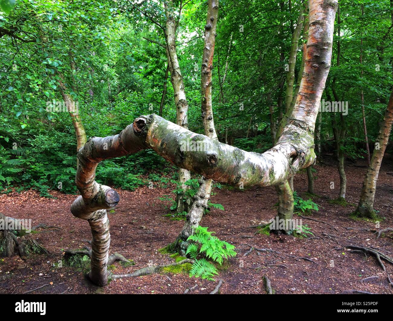 Wonky tree trunk - Stock Image