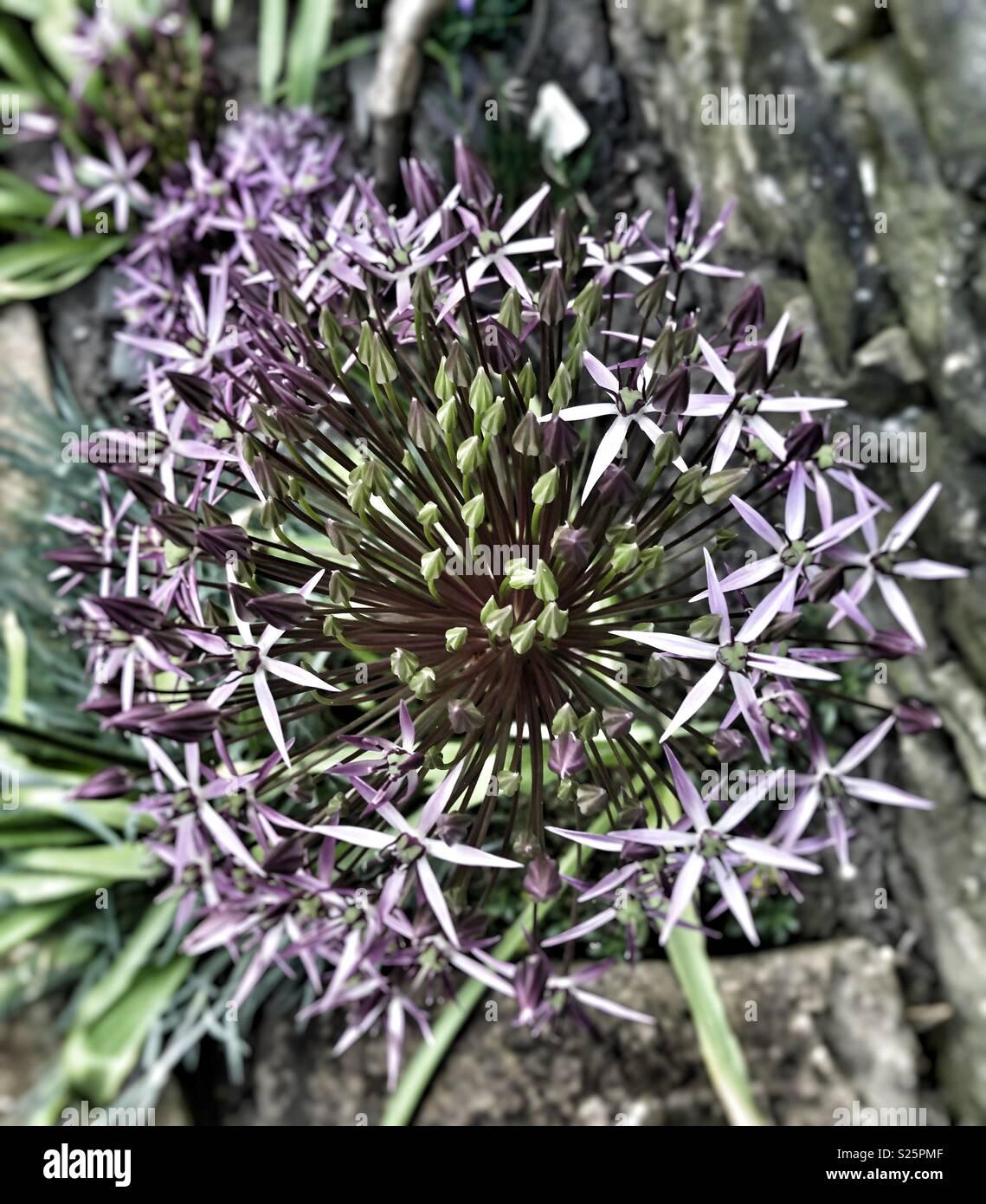 Half flowered purple Allium 'Firmamen' flower - Stock Image