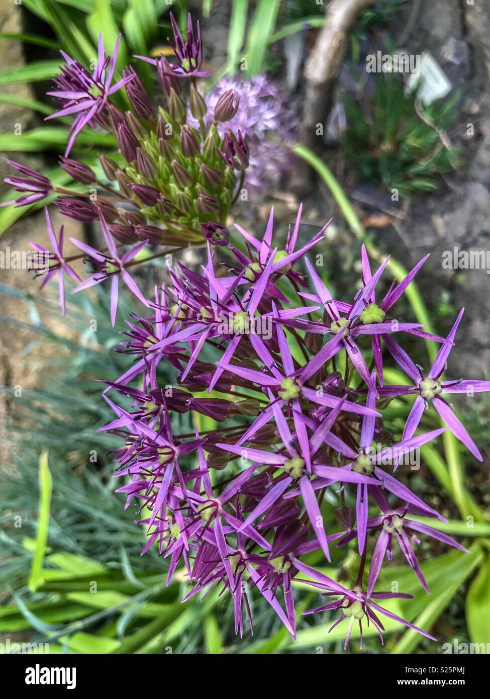 Lovely purple Allium 'Firmament' flower - Stock Image