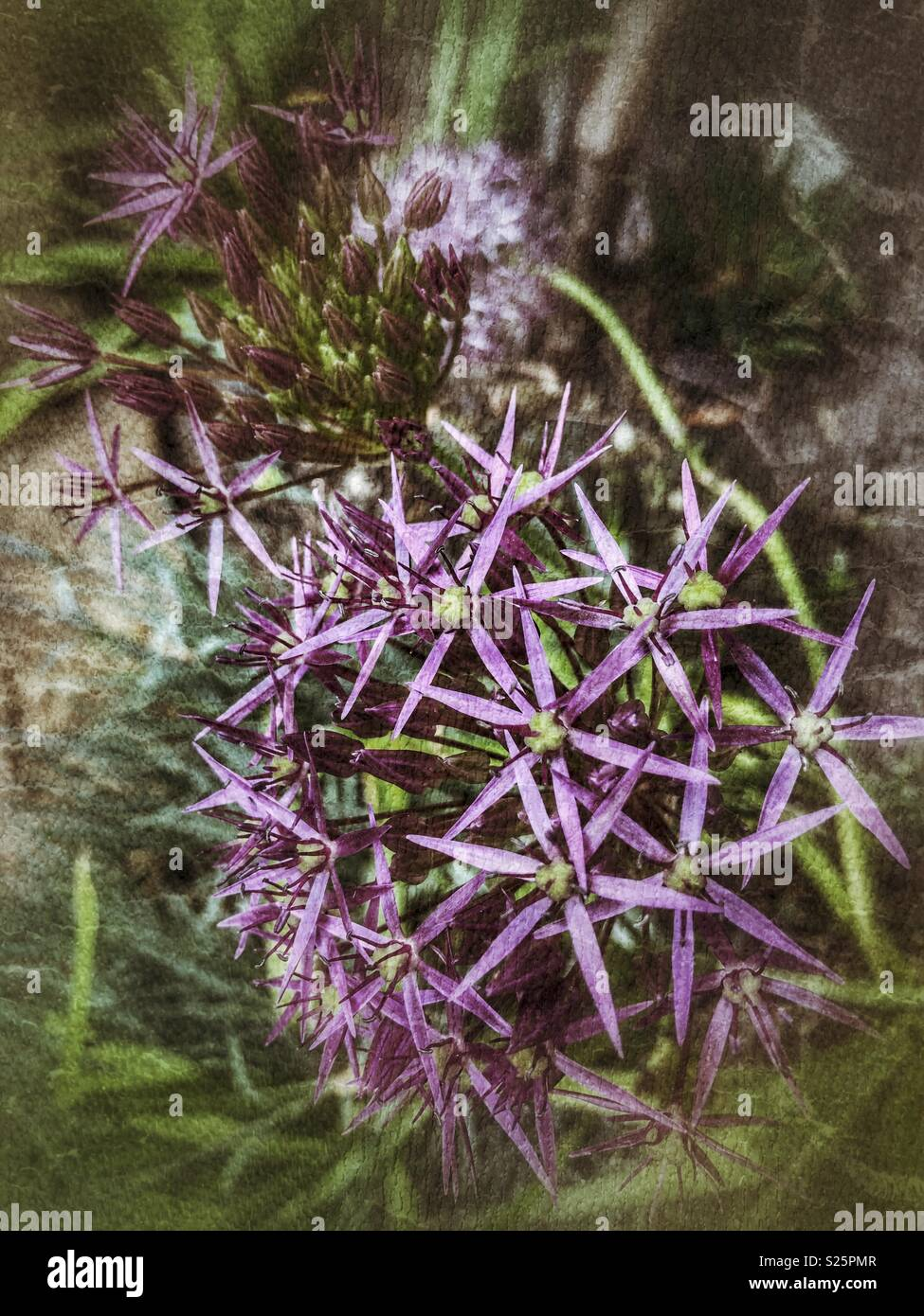 Flowered purple Allium 'Firmament' with filter - Stock Image