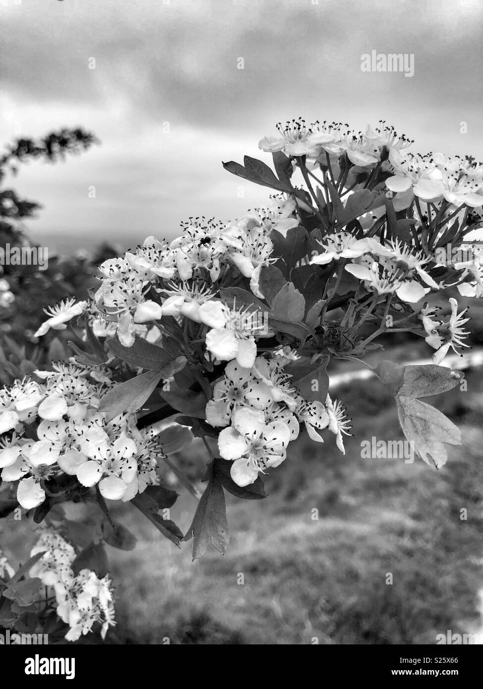 Black and white picture of hawthorn flower - Stock Image