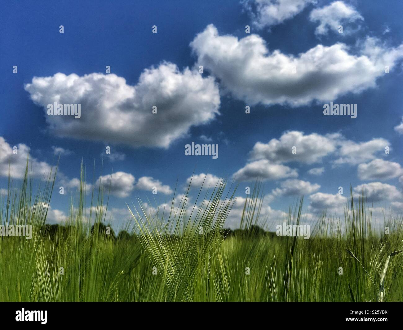 Green wheat field on a sunny day in North Yorkshire - Stock Image