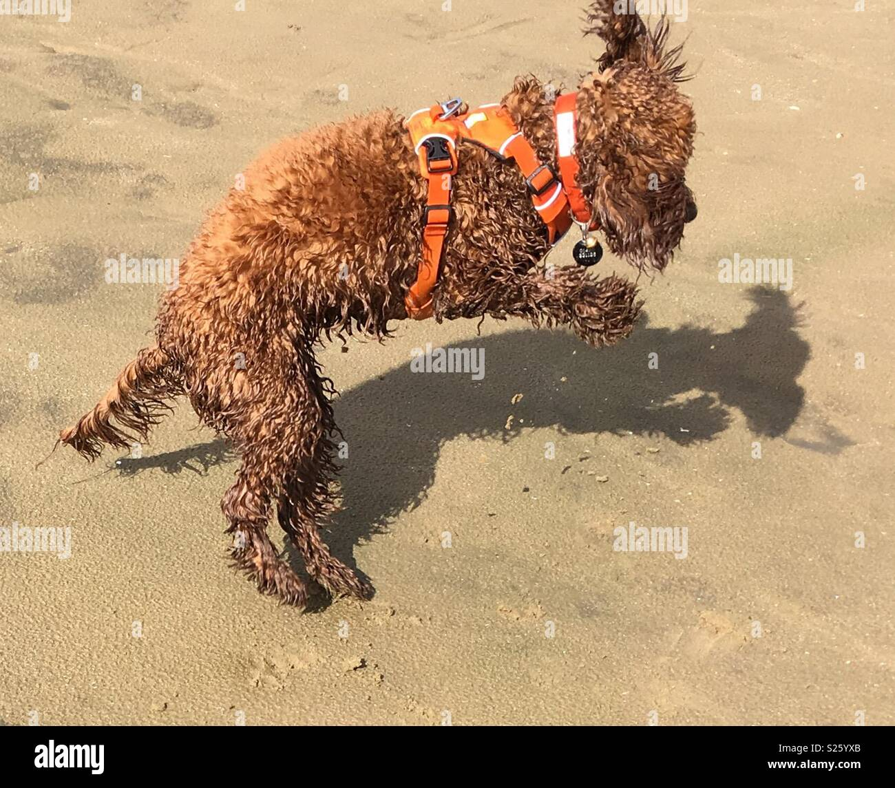 Leaping Cockerpoo and shadow on beach - Stock Image