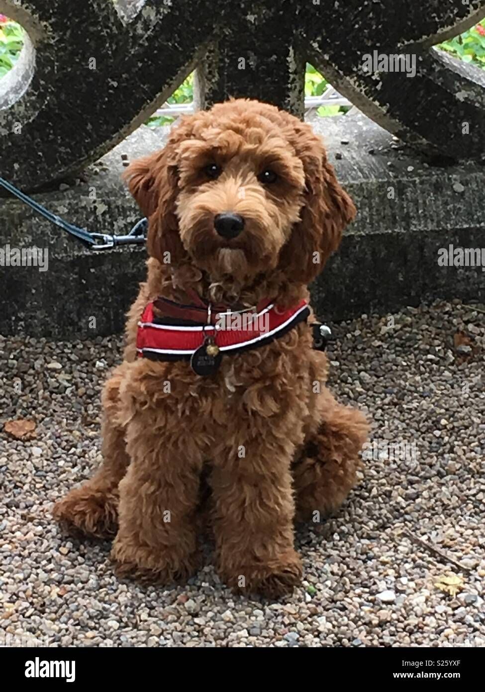 Red Cockerpoo puppy - Stock Image