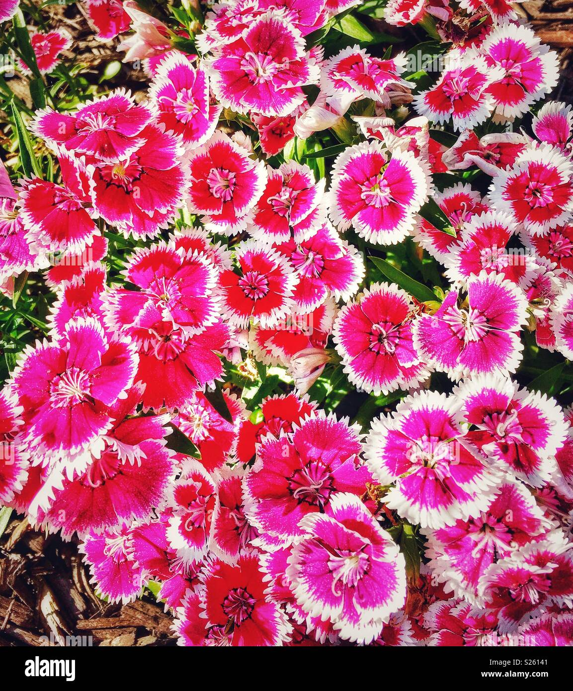 Dianthus Pinks Flowers Stock Photo 311148545 Alamy