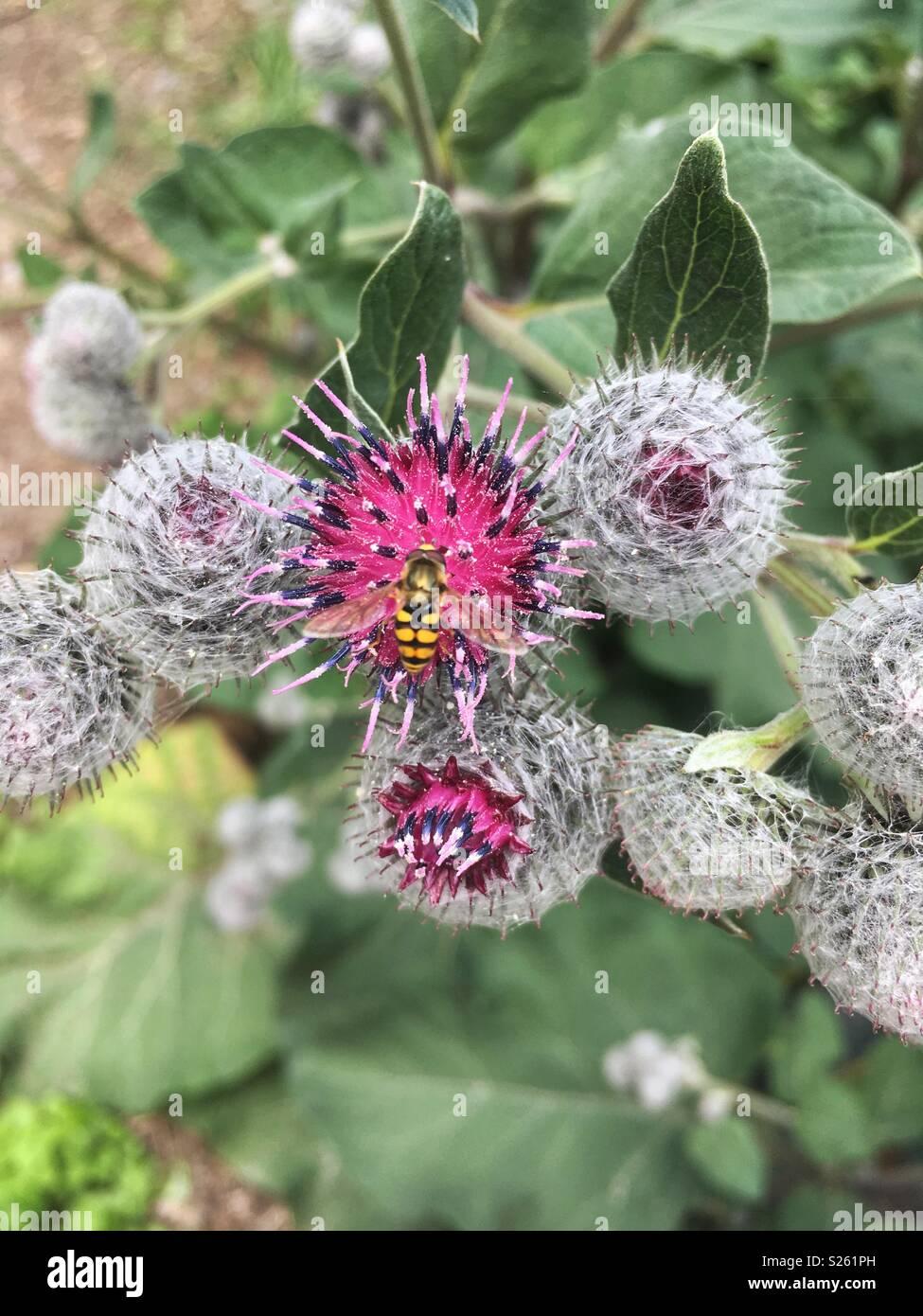 Hooverfly on purple flower - Schwebfliege auf lila Blüte - Stock Image