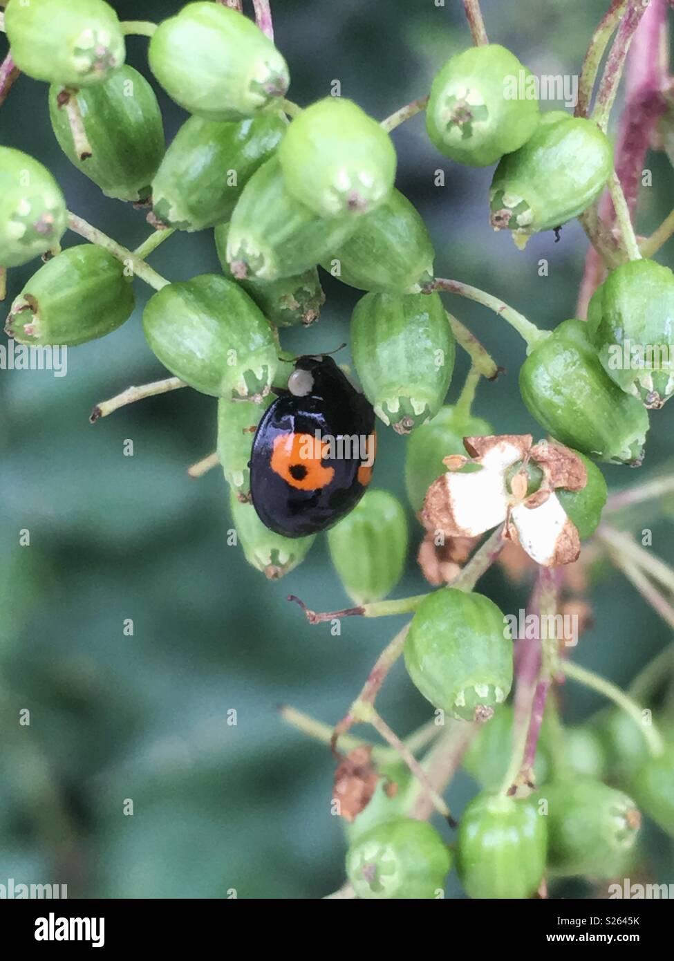 Ladybug with unusual pattern - Marienkäfer mit ungewöhnlicher Musterung - Stock Image