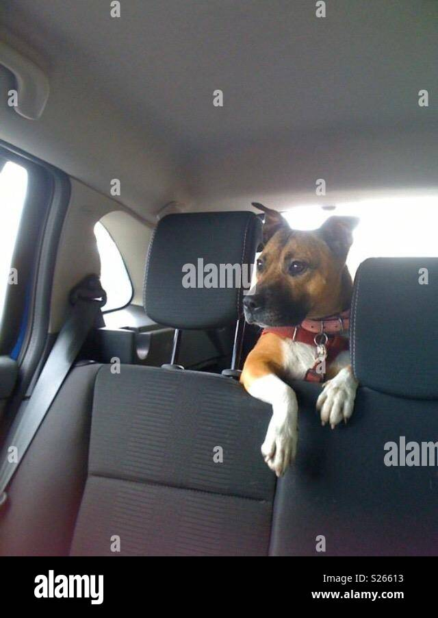 Dog in a car boot - Staffordshire Bull Terrier - Stock Image