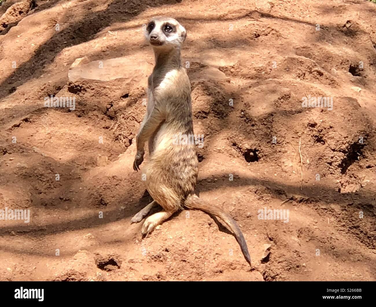 Meerkat - Stock Image