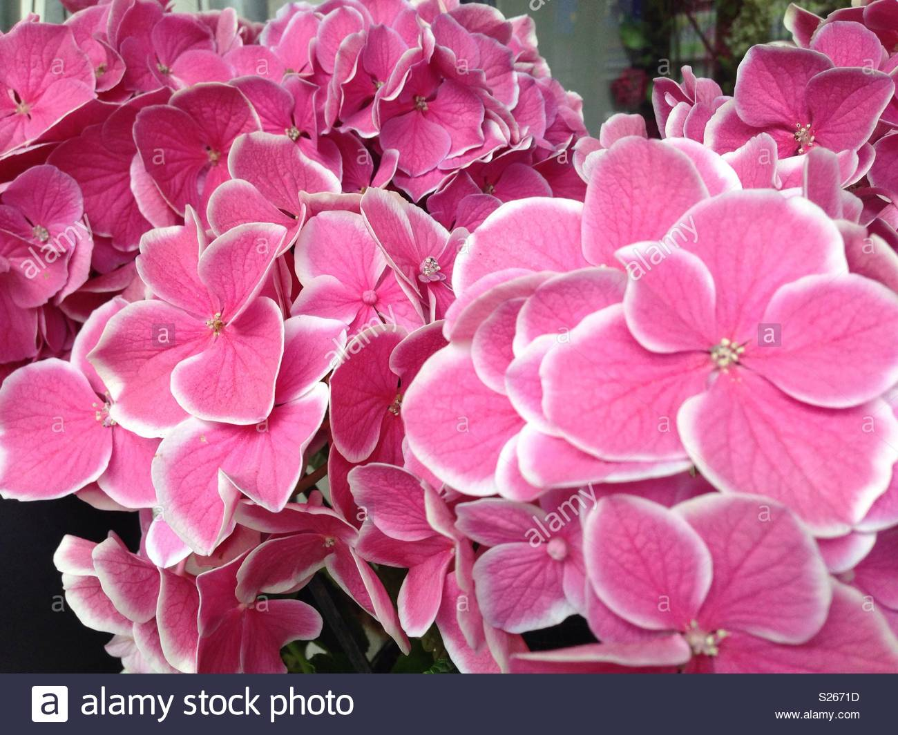 Beautiful Pretty Bunch Of Delicate Pink Flowers With A White Edge