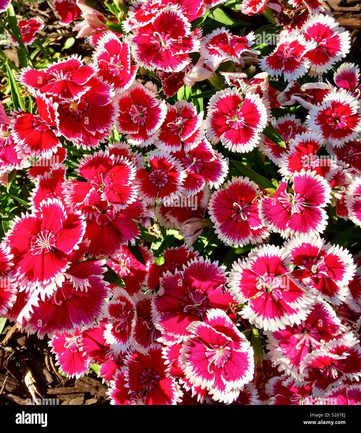 Dianthus Pinks Flowers Stock Photo 311153546 Alamy