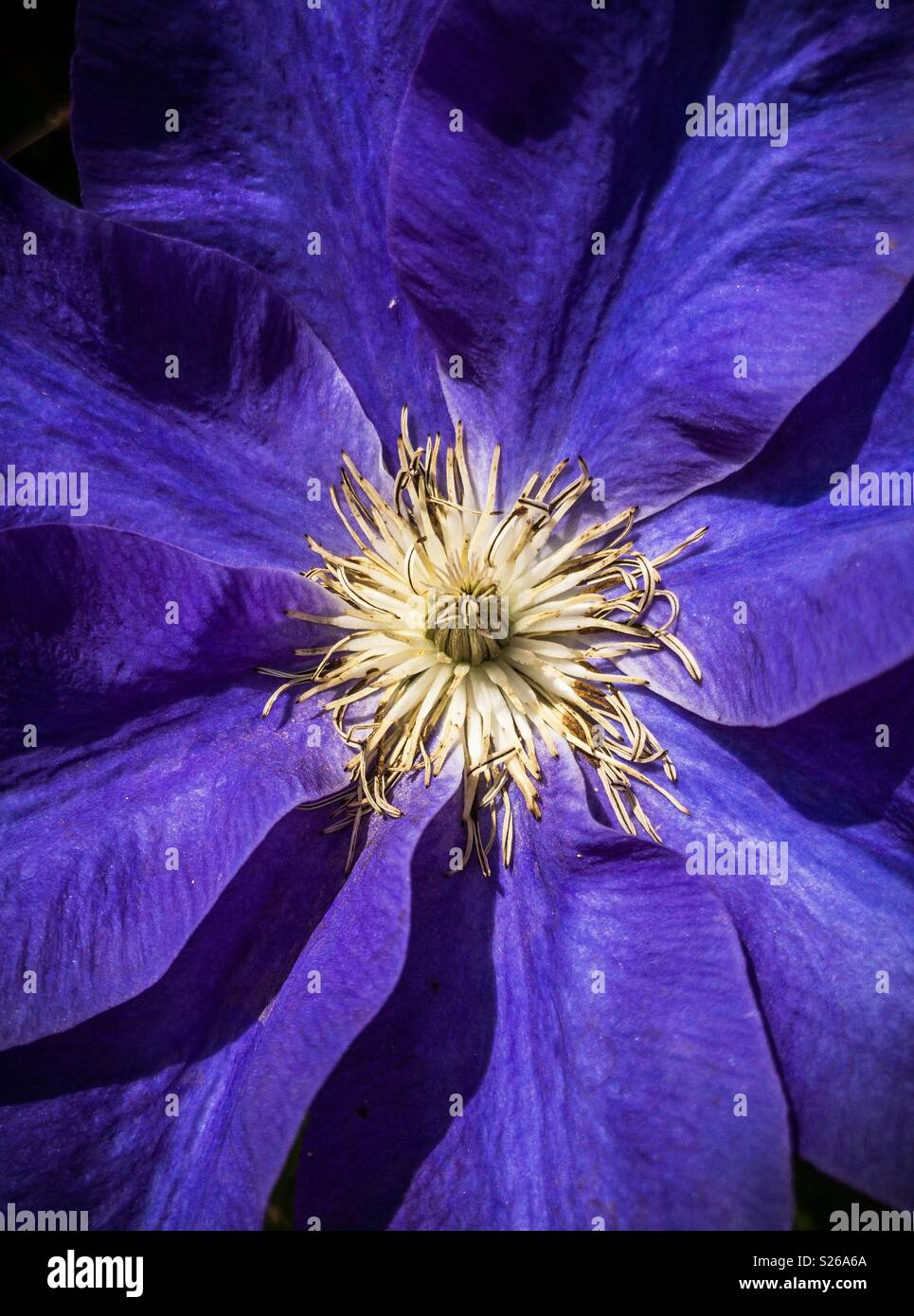 Close up of a purple Clematis in the sunshine focussing on the centre of the flower - Stock Image