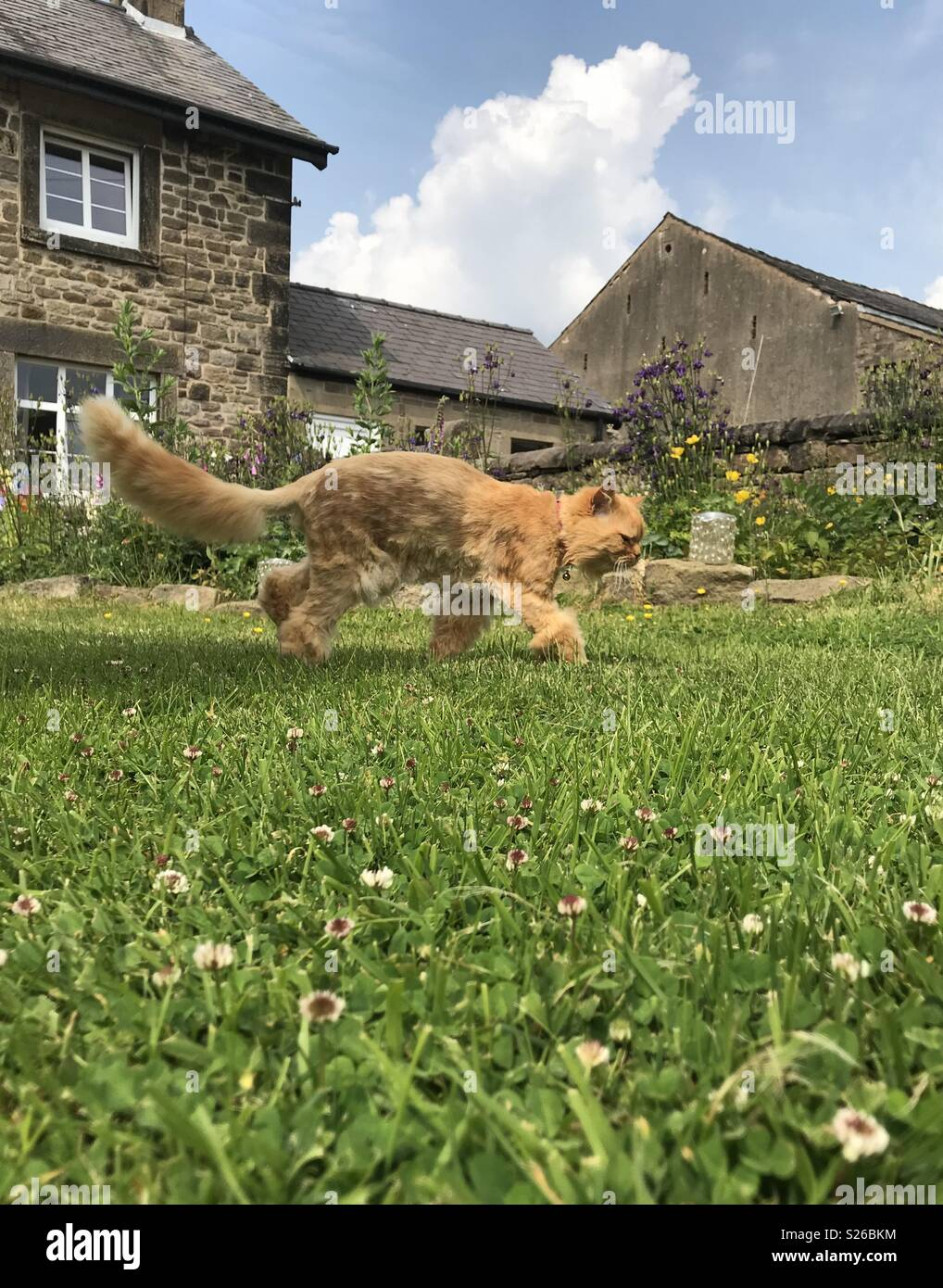Ginger cat tip toeing across the grass in the garden on a sunny day with fluffy white clouds - Stock Image