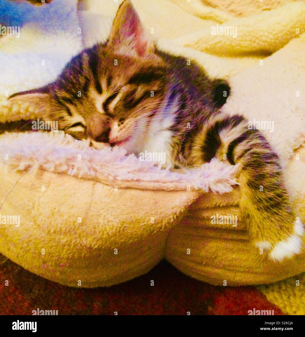 Sleeping cute Tabbie Kitten in dogs comfy bed Stock Photo