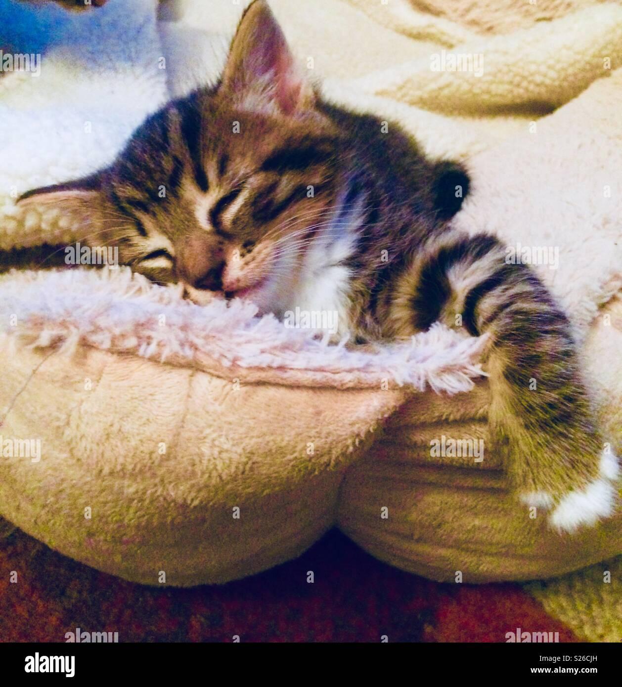 Tabby kitten sleeping in dogs bed - Stock Image