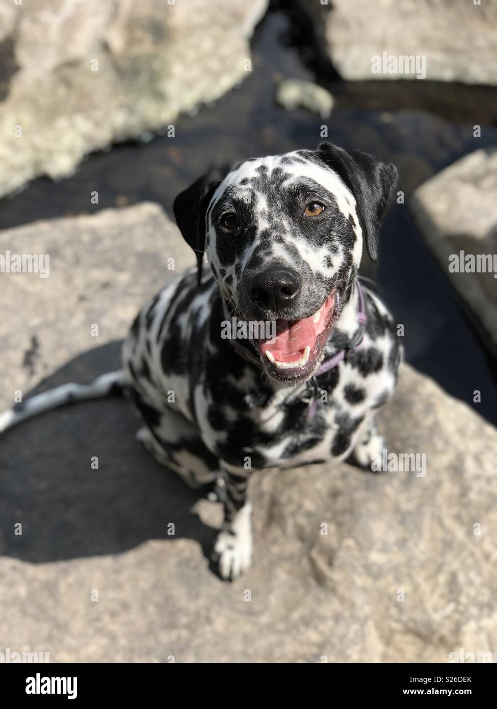Dalmatian puppy sitting on a rock - Stock Image