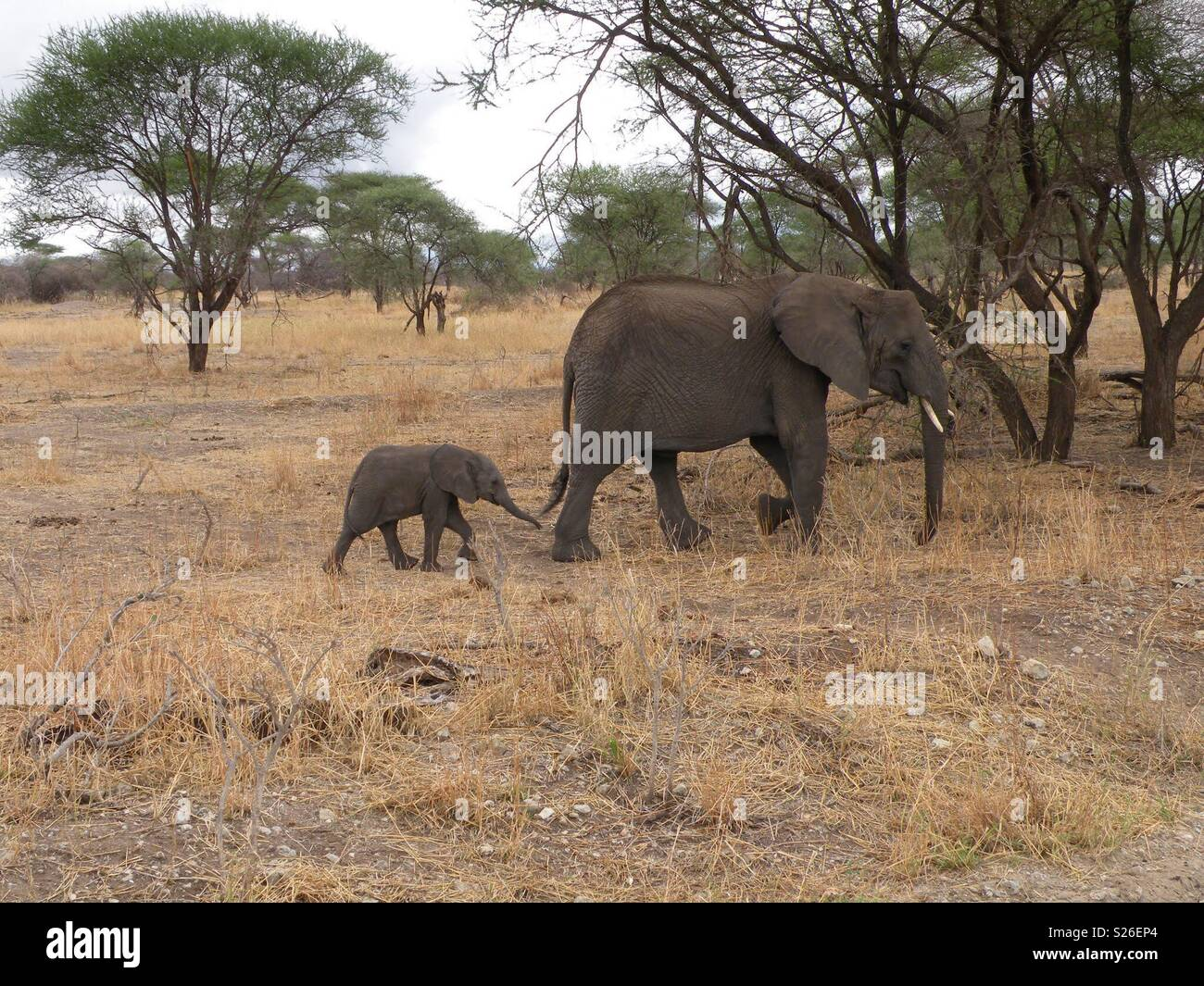 Mother and baby elephant in the wild Stock Photo