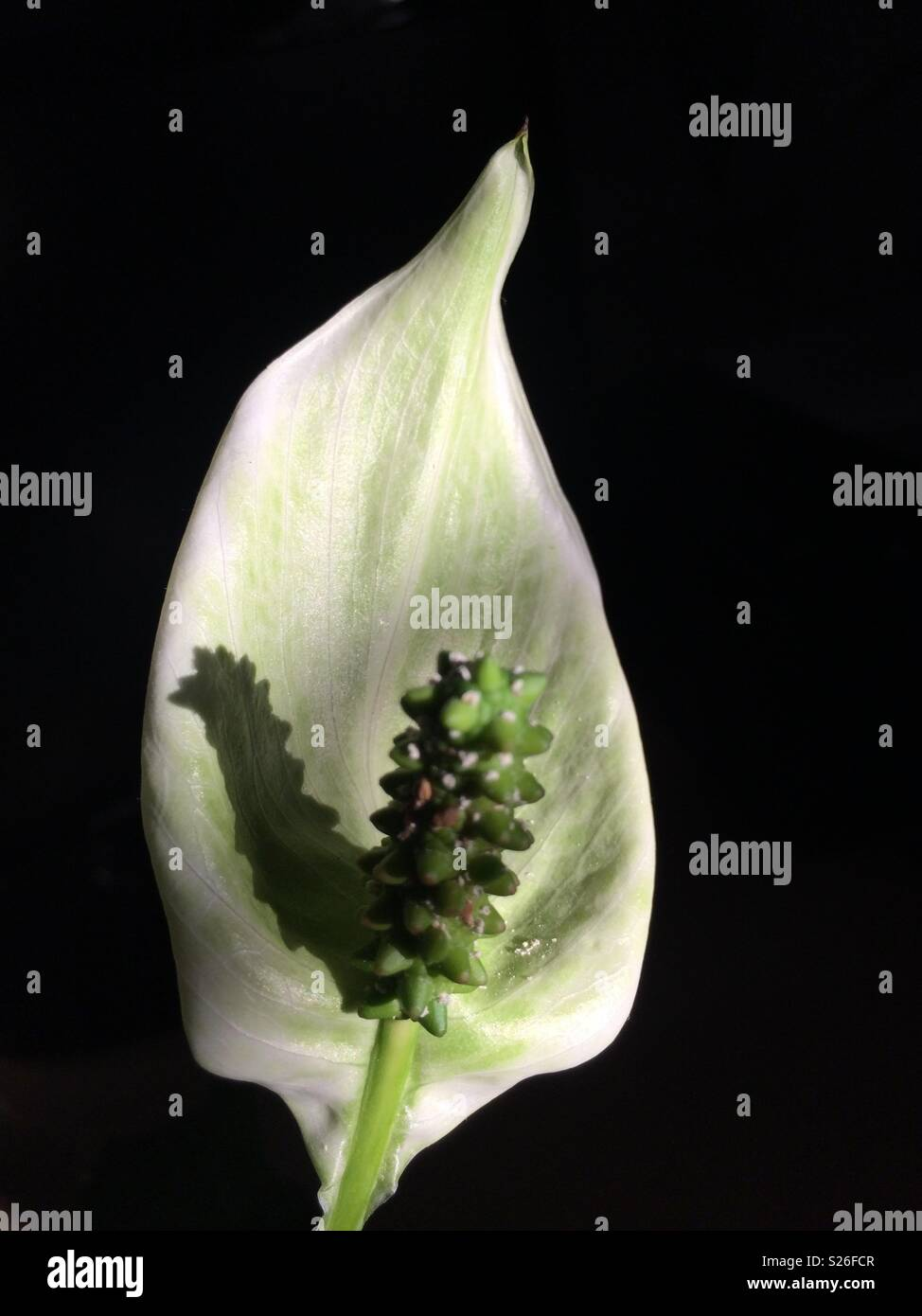 Peace Lily Flower Stock Photos Peace Lily Flower Stock Images Alamy