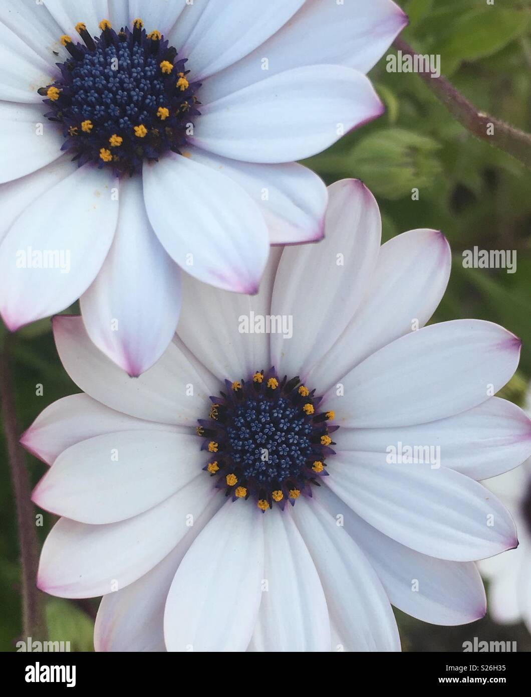 Large White Daisy Flowers Stock Photos Large White Daisy Flowers