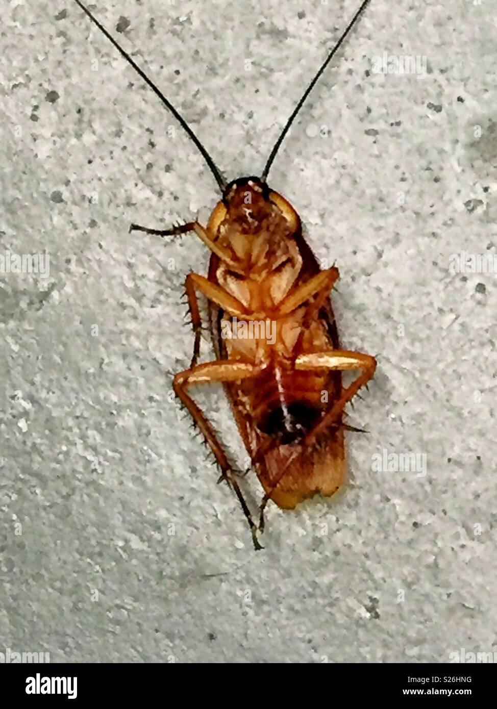 A dead cockroach on a concrete floor, USA - Stock Image