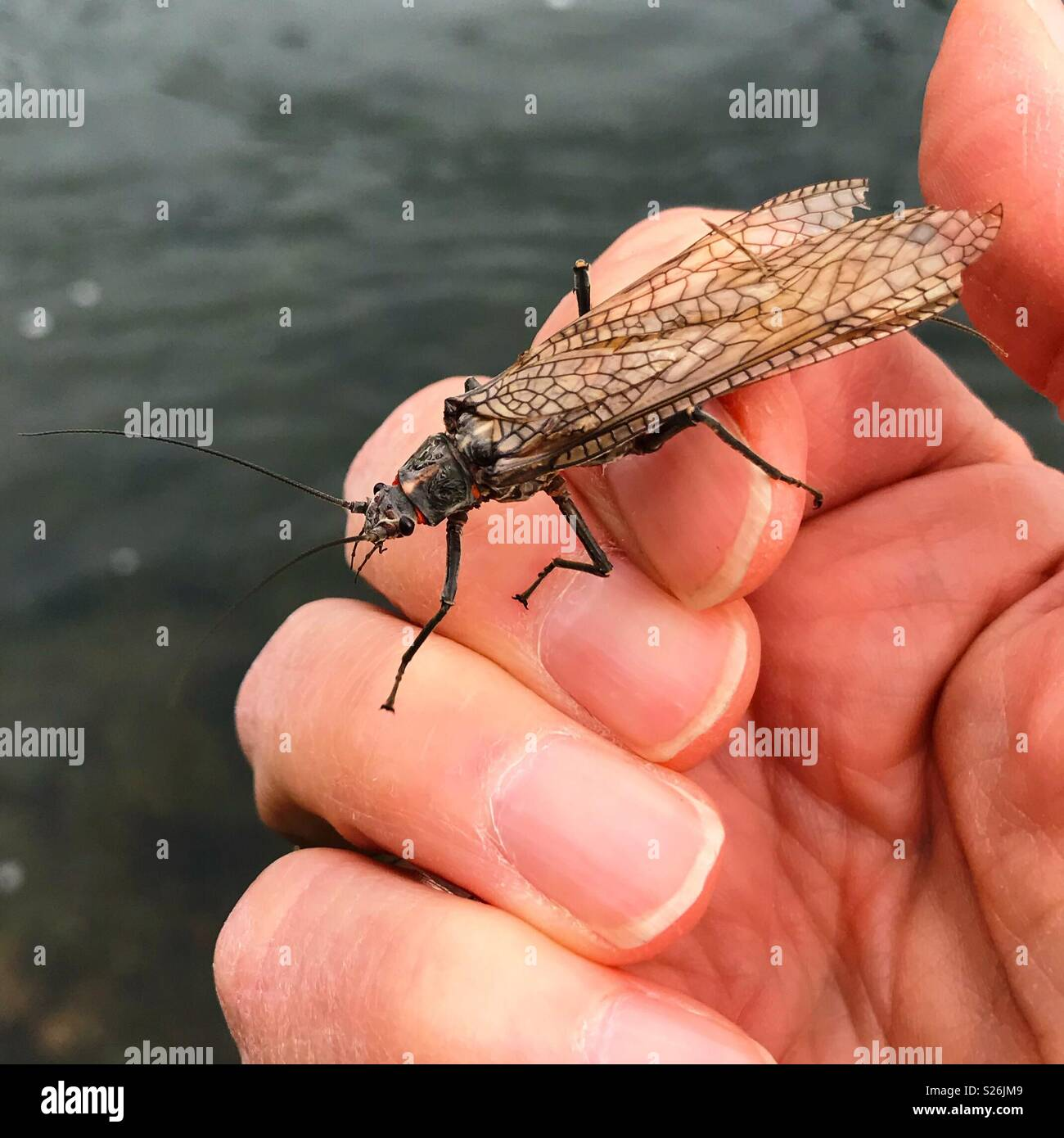 Large stonefly on a man's hand - Stock Image