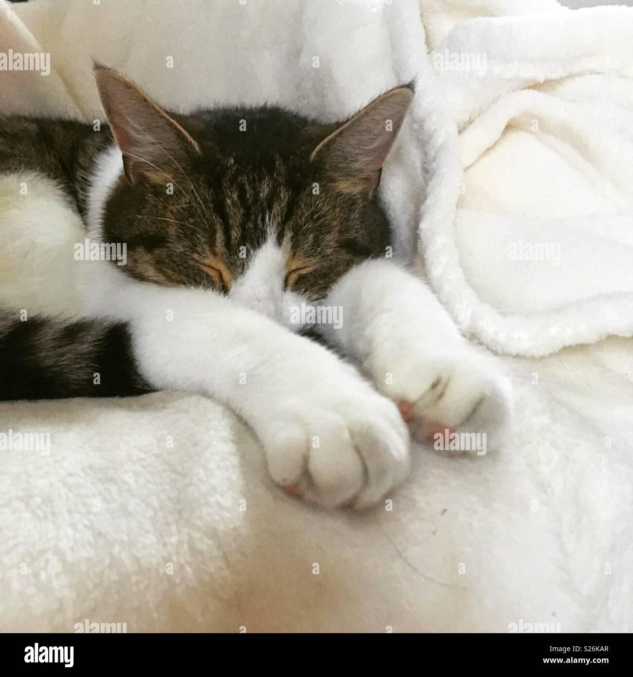 Cat sleeping cosy in white blanket - Stock Image
