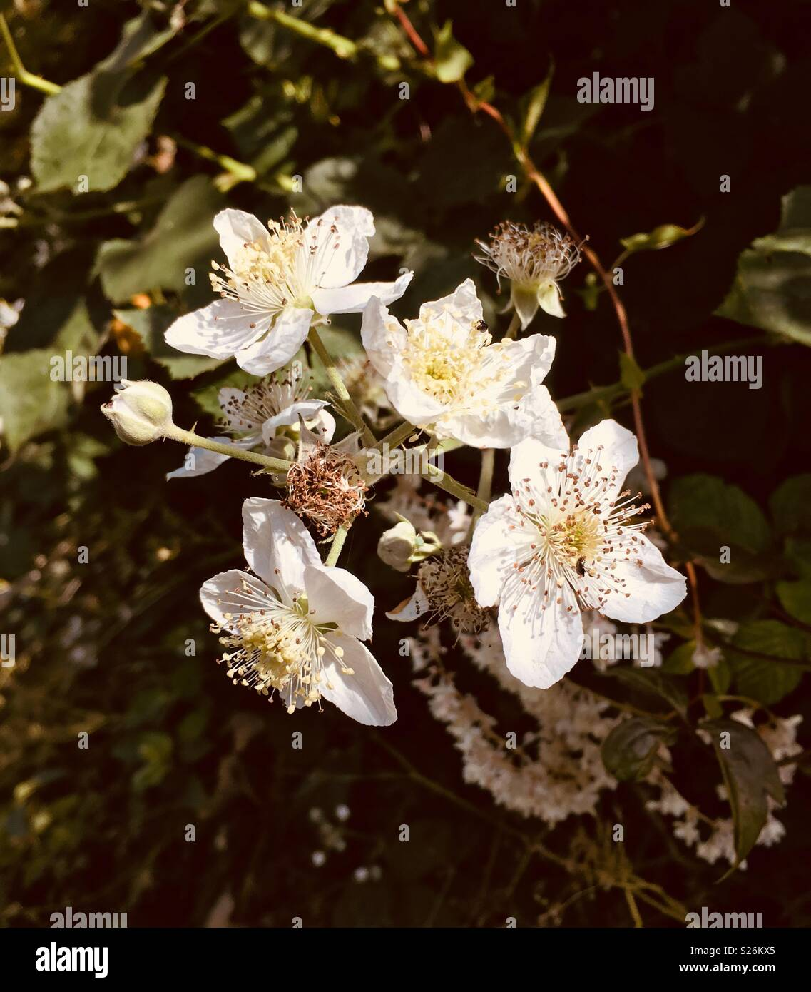 White Hawthorn Flowers Against A Background Of Leaves Stock Photo