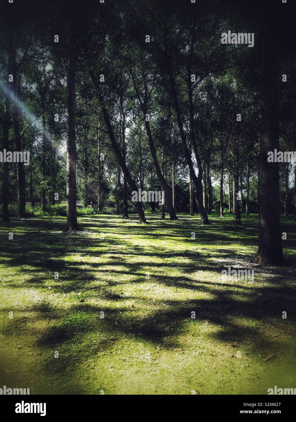 Shady woods with sunlight streaming in casting deep shadows on the grass below. Willen Lake, Milton Keynes, England. - Stock Image