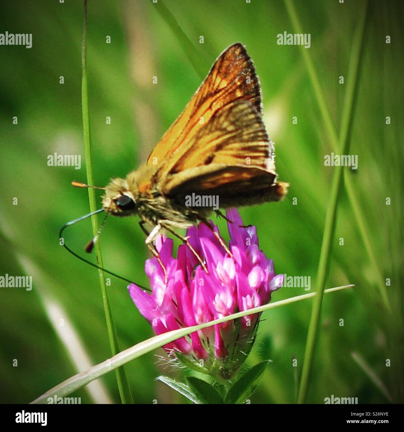Thirst for nectar - Stock Image