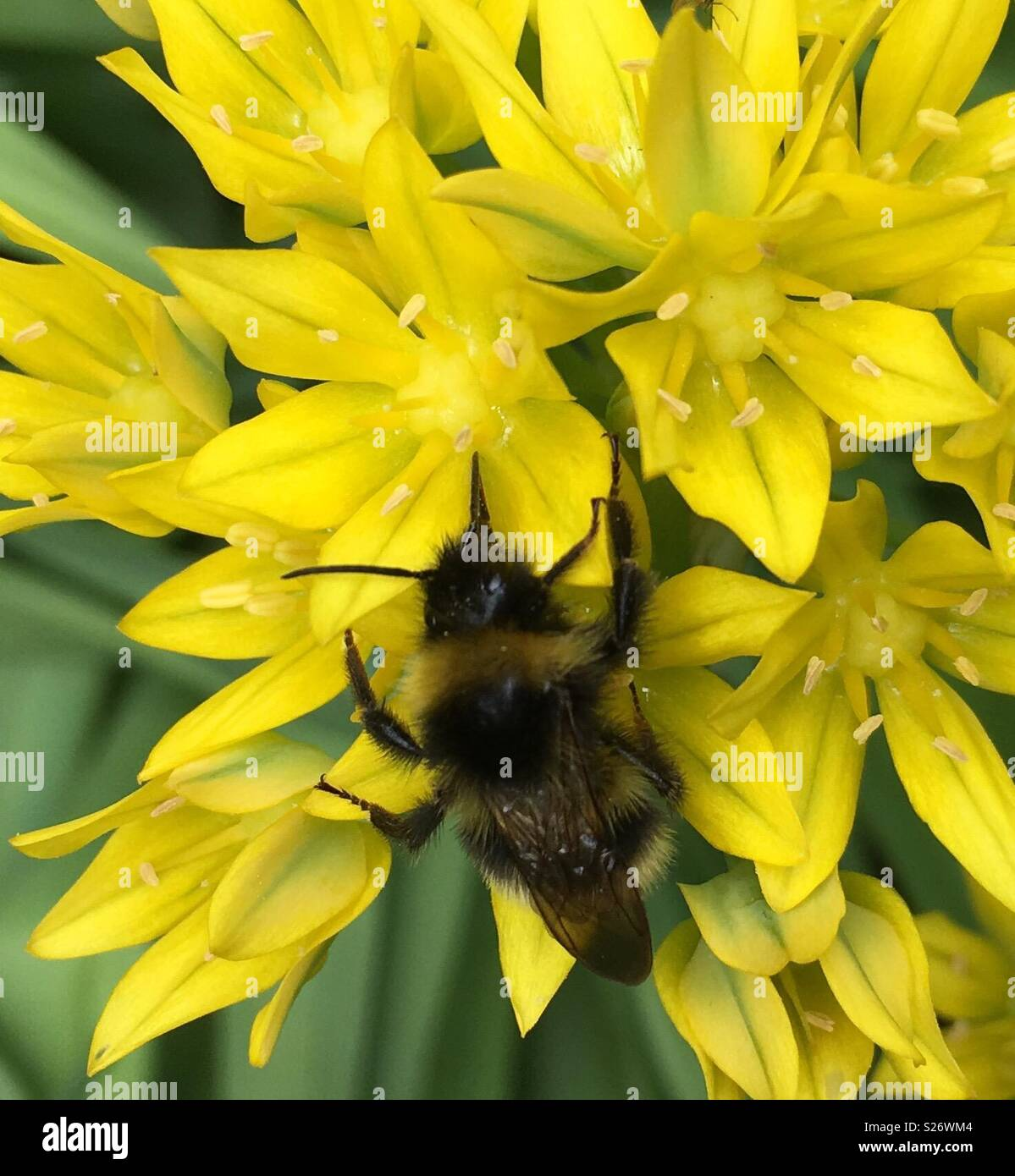 Yellow allium stock photos yellow allium stock images alamy bumble bee collecting pollen from yellow allium flowers stock image mightylinksfo