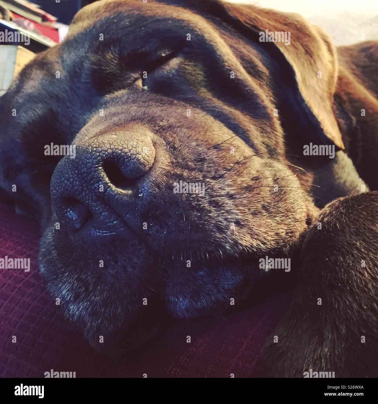 Sleepy Scooby the chocolate Labrador - Stock Image
