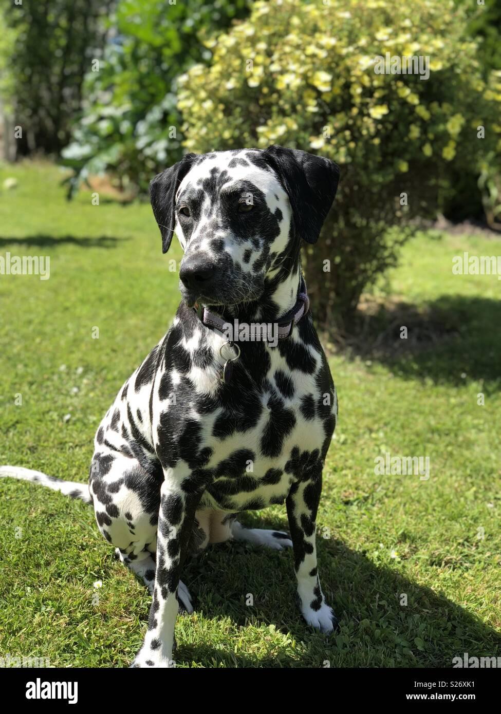 Dalmatian in garden - Stock Image