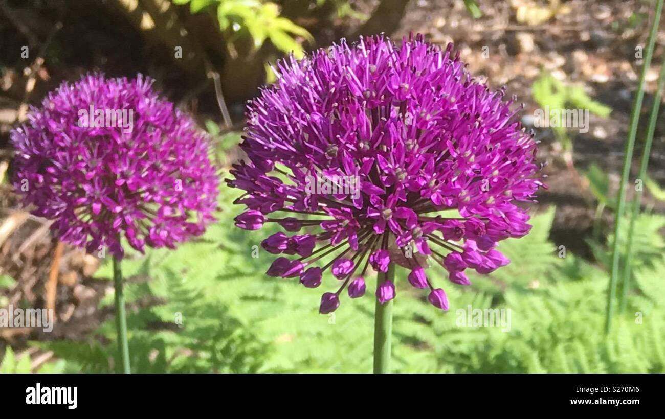 Allium Flowers with ferns in the background - Stock Image