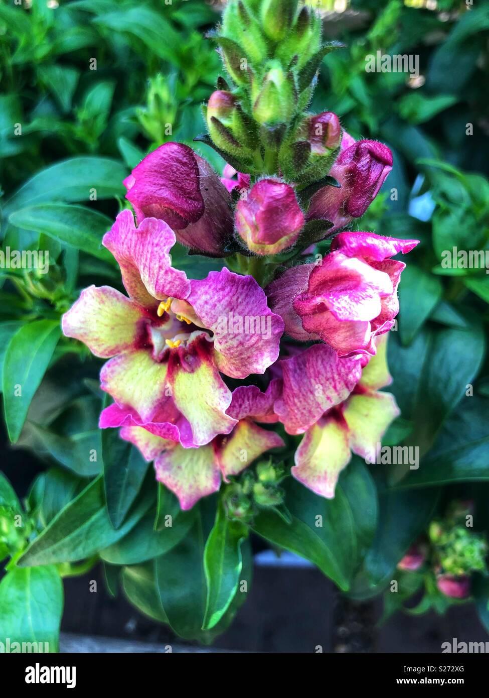 antirrhinum peachy pink and yellow flowers - Stock Image