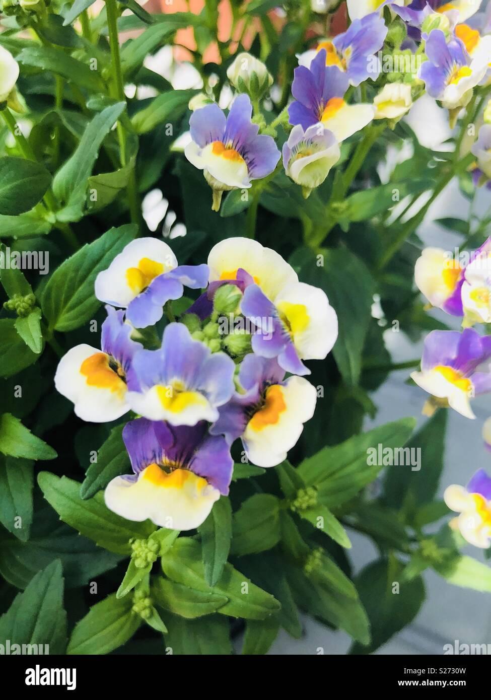 Nemesia Olivia flowers Stock Photo