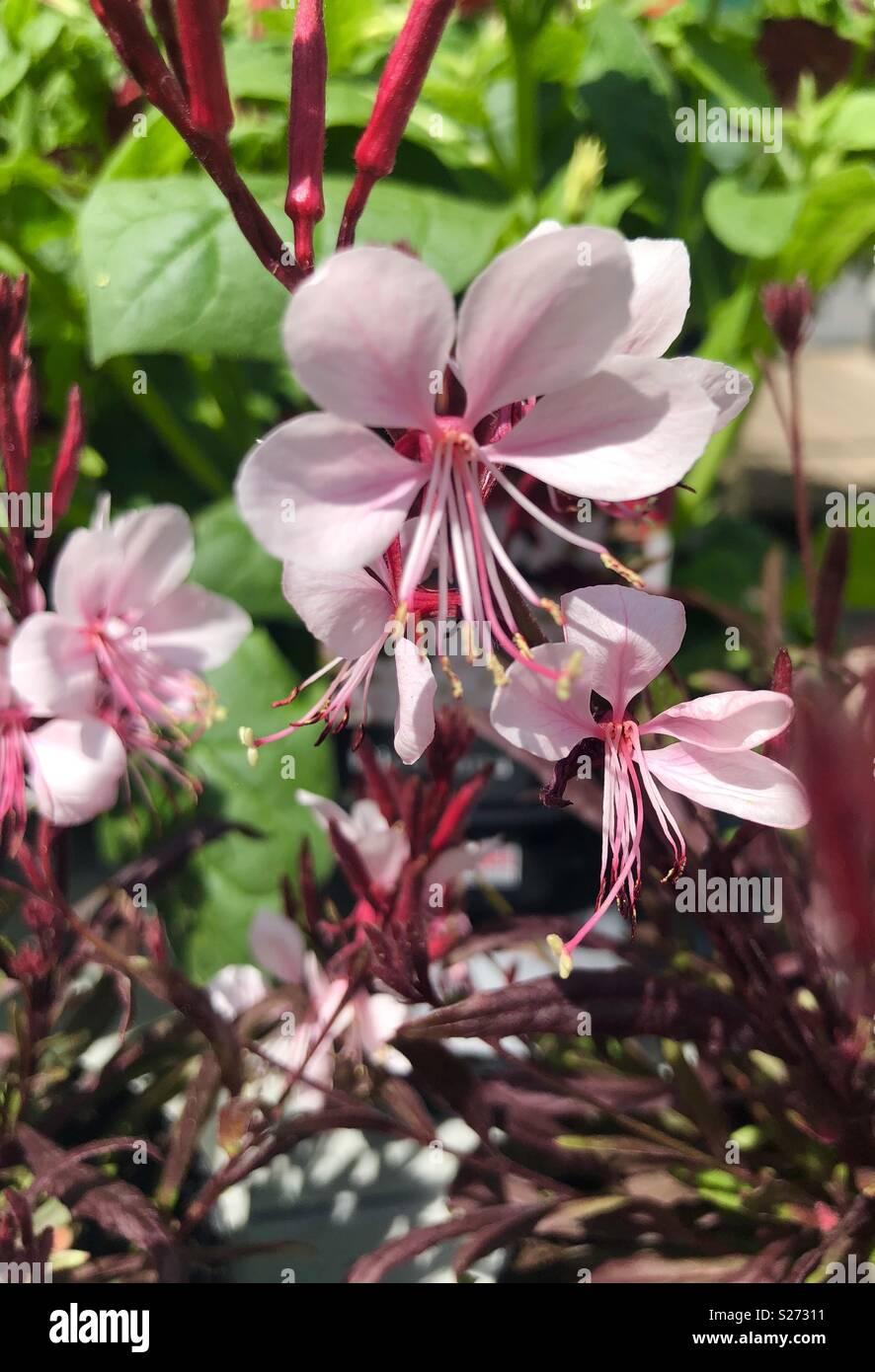 Gaura gaudi pink flowers Stock Photo