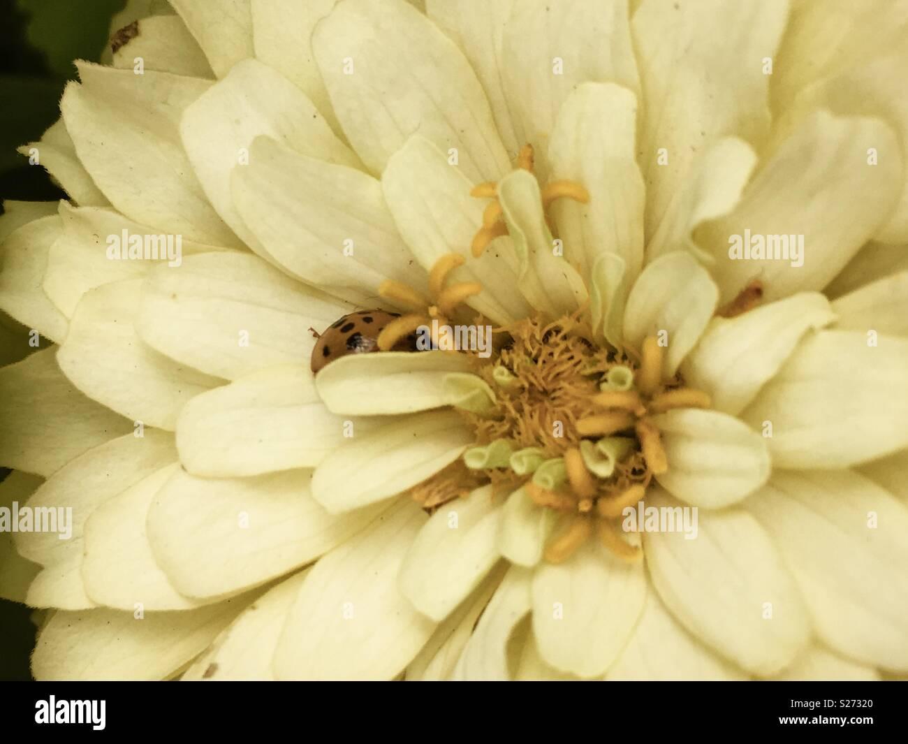 Ladybug hiding on pale white flower - Stock Image