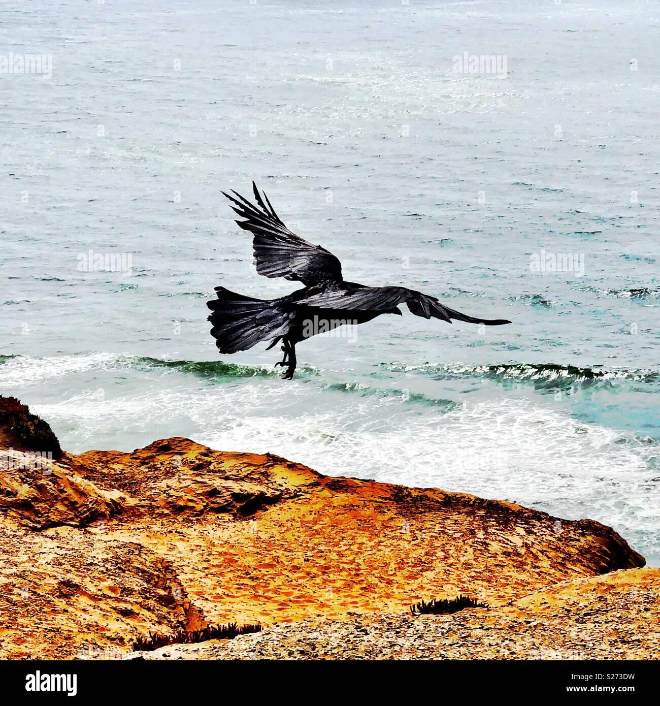 Jet black raven takes flight atop coastal cliffs high above the torrid sea below. Stock Photo