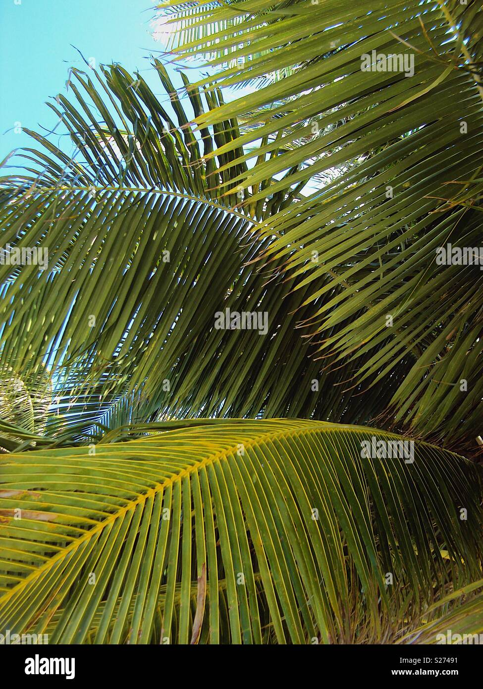 Green palm tree fronds in the sunshine - Stock Image