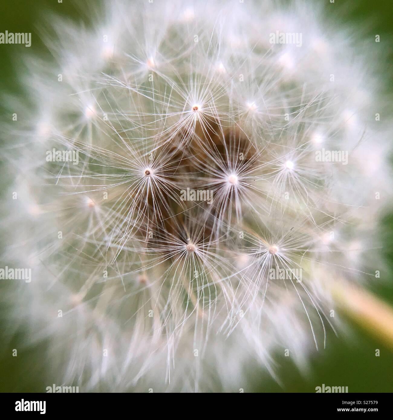 Dandelion fluff, Wayne County, Pennsylvania - Stock Image