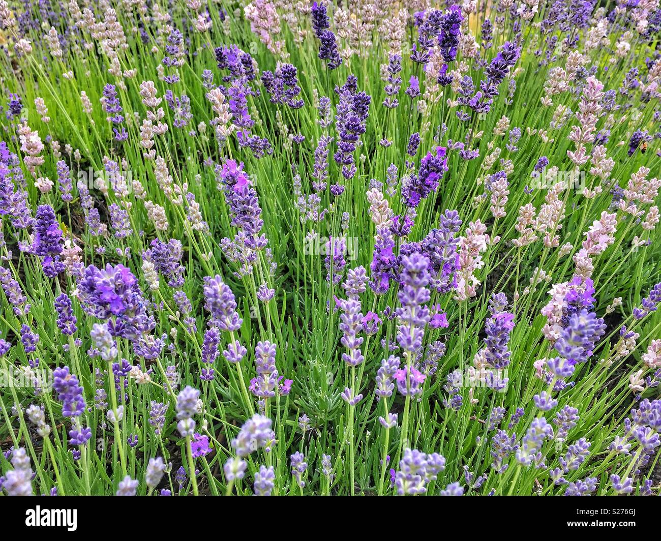 Lavender background with selective focus - Stock Image