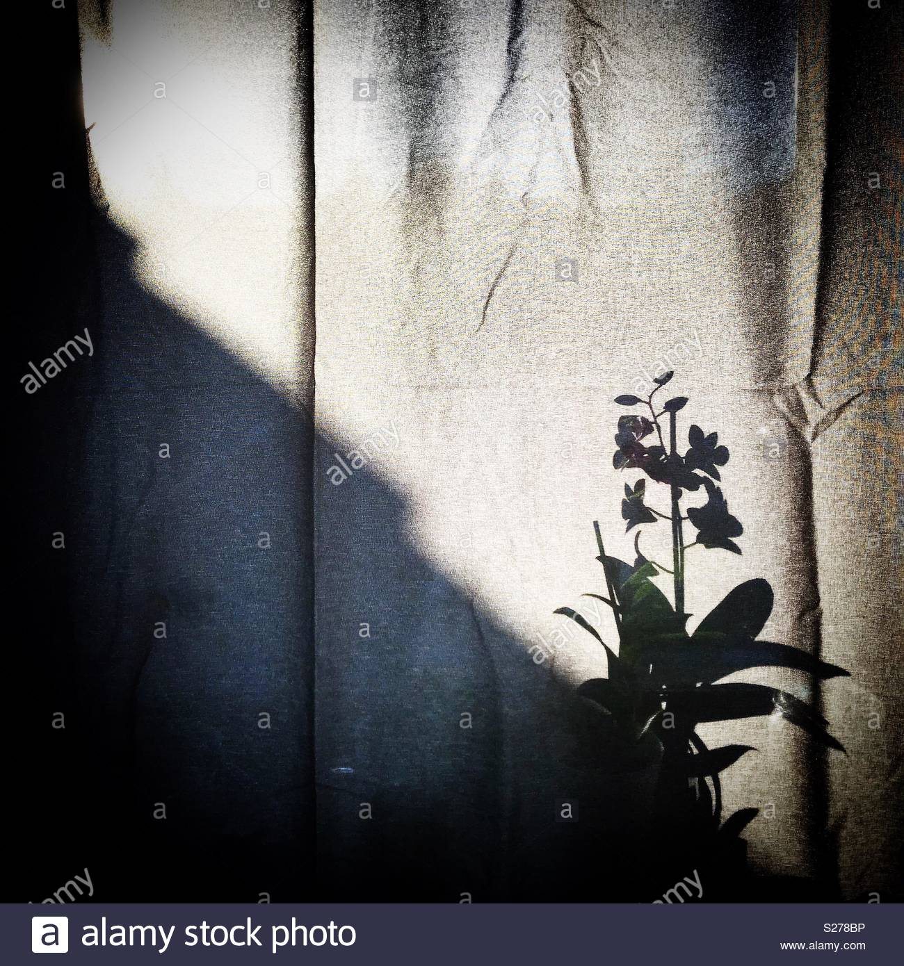 Flower shadow on curtain. - Stock Image
