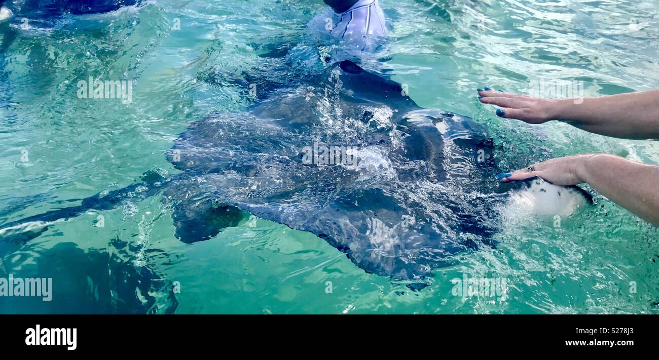 Stingray city grand Cayman - Stock Image
