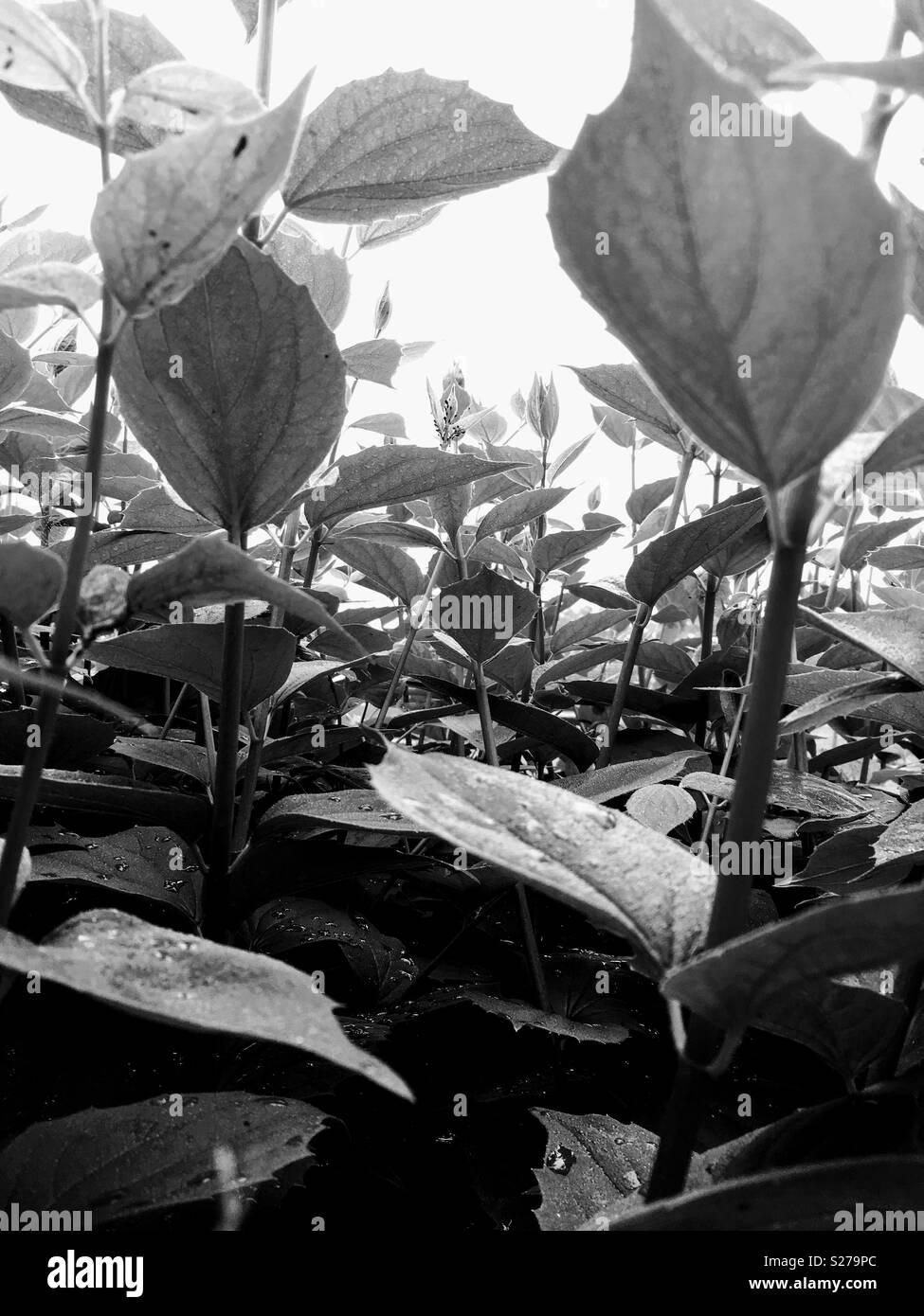 Plants in Black & White - Stock Image
