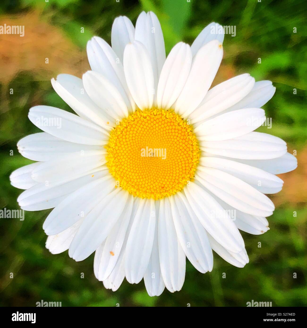Bright centred closeup of white daisy flower - Stock Image