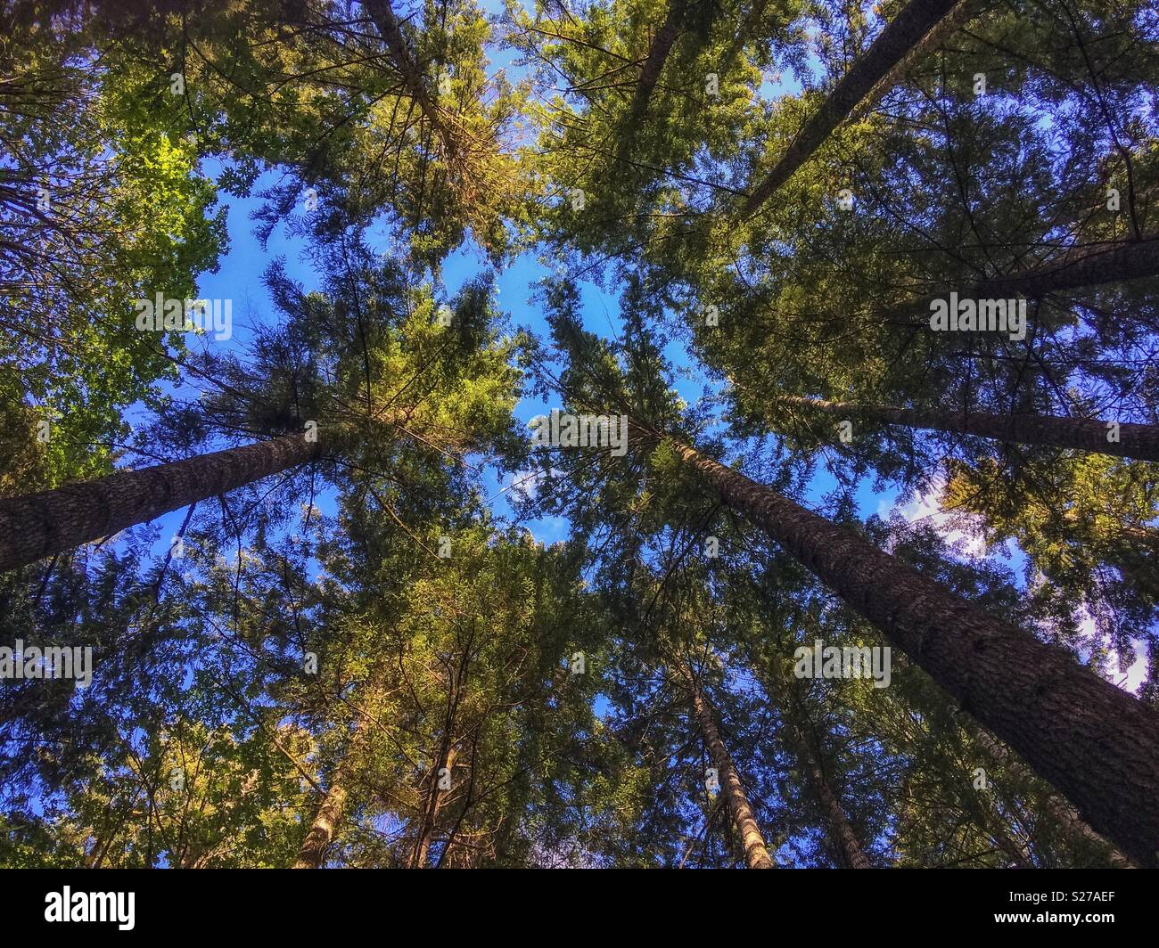 Looking up at the canopy, giant spruces in the forest surrounding Lake Crescent, Olympic National Park, Washington State, USA. - Stock Image