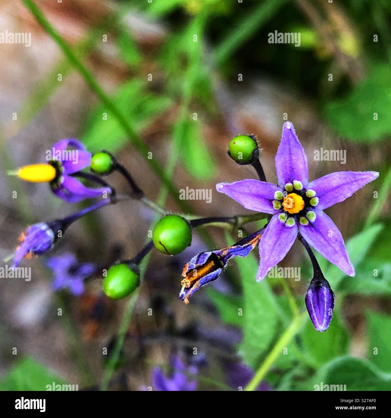 Deadly Nightshade Plant High Resolution Stock Photography And Images Alamy