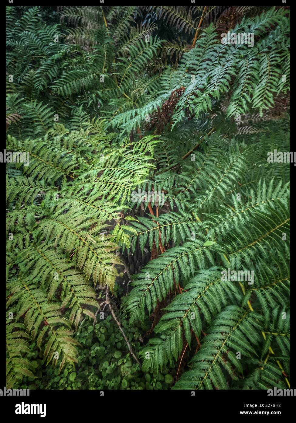 Fern leaves in Kirstenbosch National Botanical Gardens, Cape Town, South Africa. - Stock Image