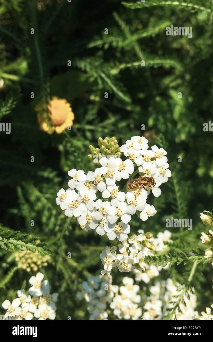 Small wild bee on yarrow flower - Stock Image